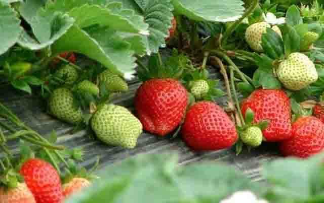 选购草莓大有窍门,这些你都知道吗?